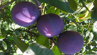 Indian prune fruit images wallpaper