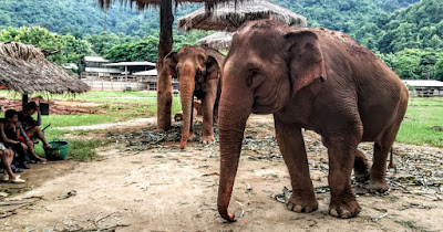 Elefante del centro de rescate con el que colaboramos en Tailandia.