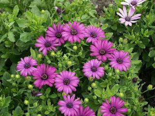 Dimorphothèque à feuilles sinuées - Marguerite du Cap - Marguerite africaine - Cultivar : Dimorphotheca sinuata 'Passion mélange'