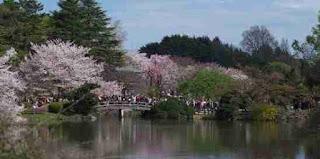 cherry blossoms shinjuku gyoen tokyo