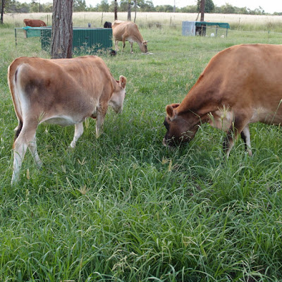 eight acres: raising a baby house cow