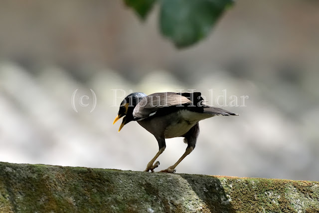 Common Myna searching for food
