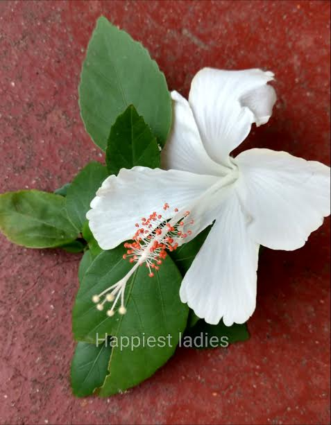 Benefits of Hibiscus Flower Plant