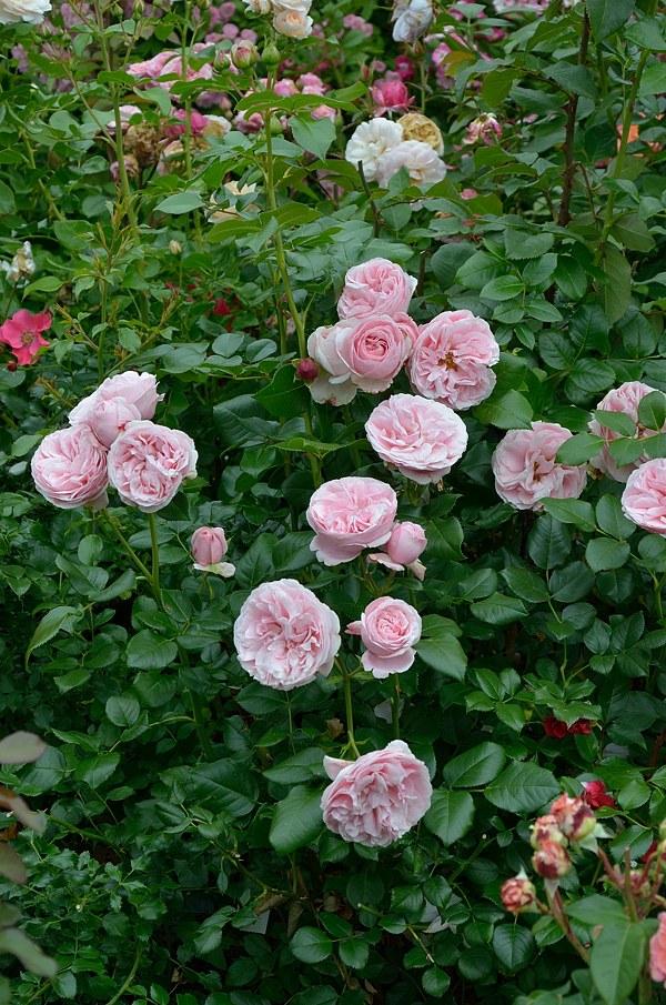 Giardina сорт розы фото Минск саженцы купить
