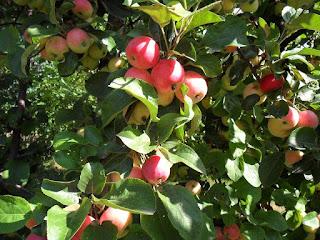 Яблоня сорт Горноалтайская