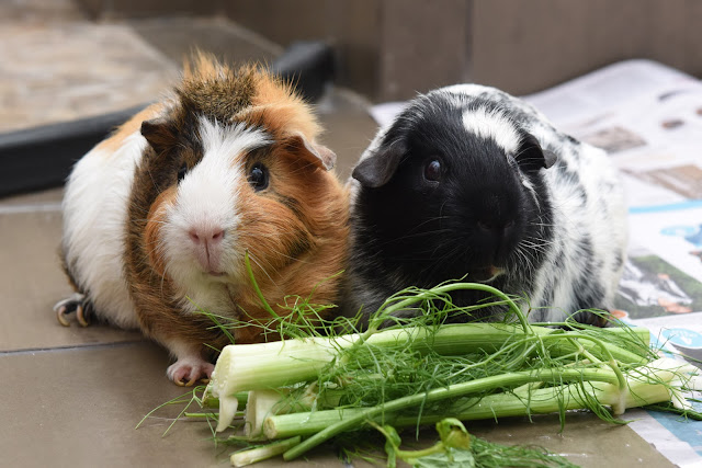 Guinea pigs; cavy; guinea pig introduction