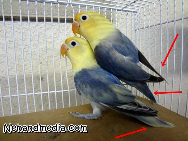 Perbedaan Burung Lovebird Jantan Dan Betina Dijamin Akurat ...