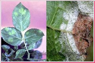 Περονόσπορος (πράσινες και κοκκινοκαστανές κηλίδες) - καταπολέμιση με φυσικό τρόπο ⇒ από «Τα φαγητά της γιαγιάς»