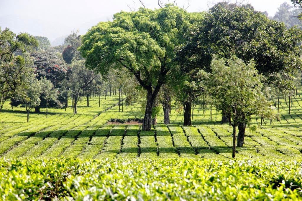 plantation de thé atypique inde
