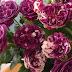 Cây hoa hồng bụi Scented Jewel