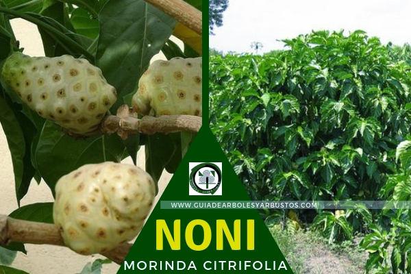 El Zumo de Noni, planta potencial terapéutico  para expeler toxinas del organismo
