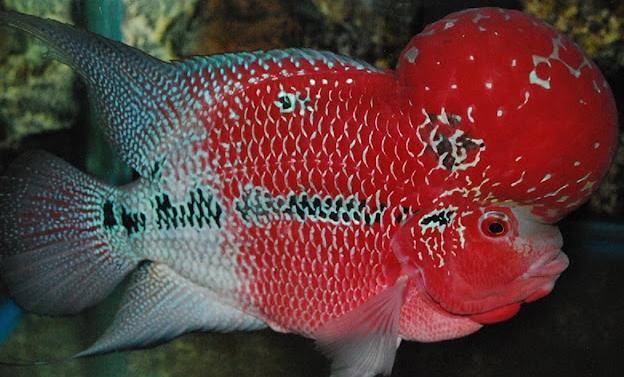 ikan louhan bergerak