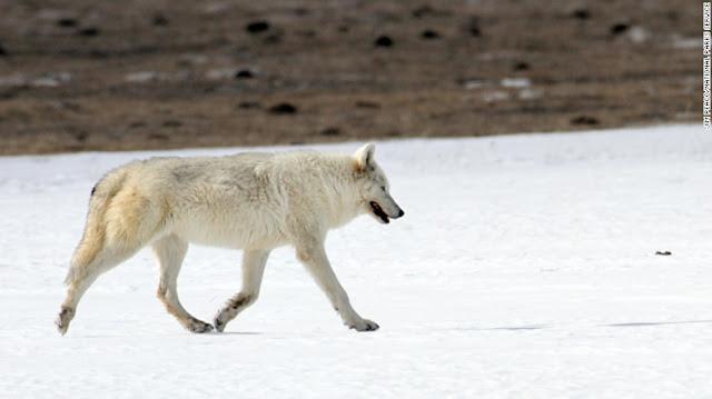 5000$ αμοιβή για τον δολοφόνο ενός σπάνιου λευκού λύκου