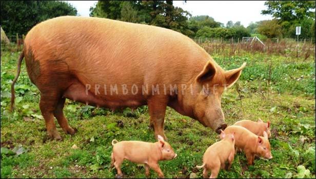 Mimpi Makan Daging Babi