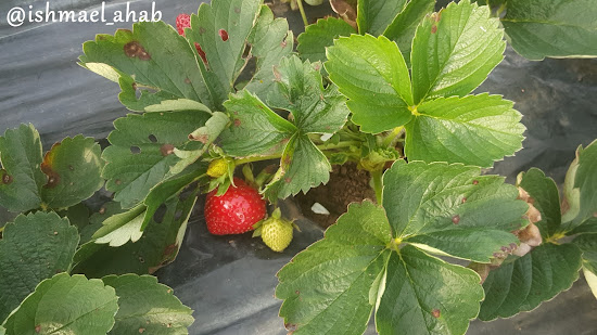 Strawberry in Strawberry Farm in La Trinidad, Benguet