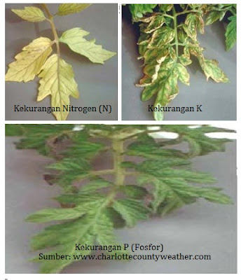 Dampak kekurangan fosfor (P) pada tanaman hidroponik