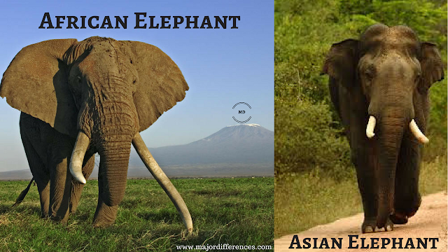10 Differences between African Elephant and Asian Elephant (African Elephant vs Indian Elephant)