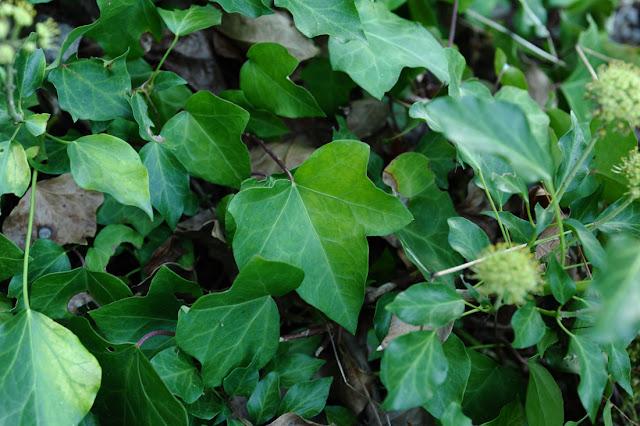Naturaleza Naturalmente: Hedera Hibernica (G. Kirchn.) Bean