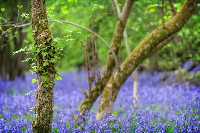 Shallow depth of field in a bluebell woodland with vibrant colours