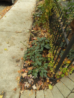 Cabbagetown Front Yard Fall Cleanup before by Paul Jung Toronto Gardening Services