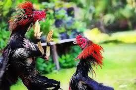 Jamu Untuk Ayam Bangkok