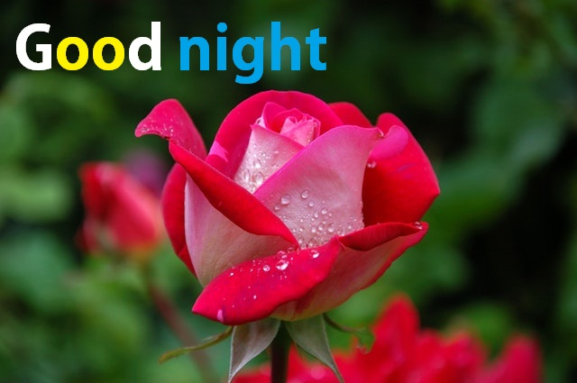 Beautiful Good Night Image With Rose Flowers Free Download