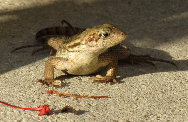 Northern curlytail lizard
