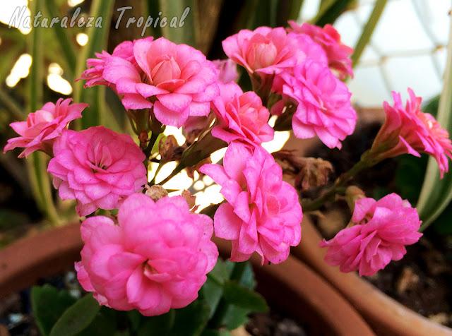 Floración de la planta suculenta Kalanchoe blossfeldiana
