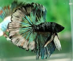 Gambar Ikan Hias Cupang