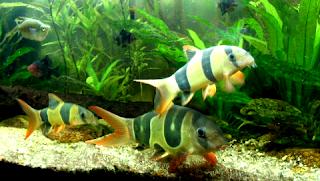 Jenis ikan hias botia