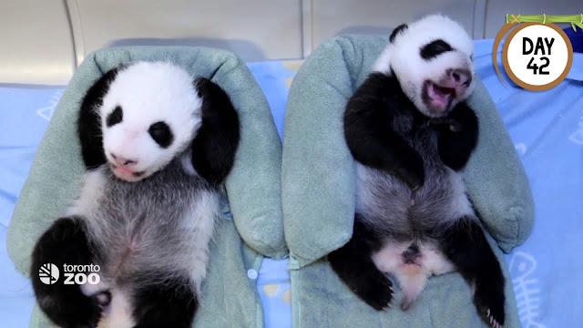 Les premiers moments de la vie de deux pandas !