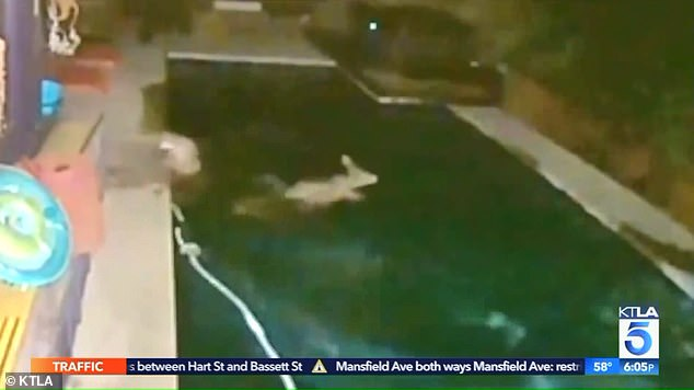 Shocking footage shows the moment a deer narrowly escapes a mountain lion by jumping in a pool
