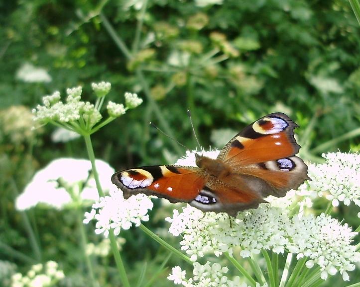Inachis io, mariposa diurna de espectacular coloración
