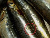 Resultat d'imatges de anisakis y cocinero