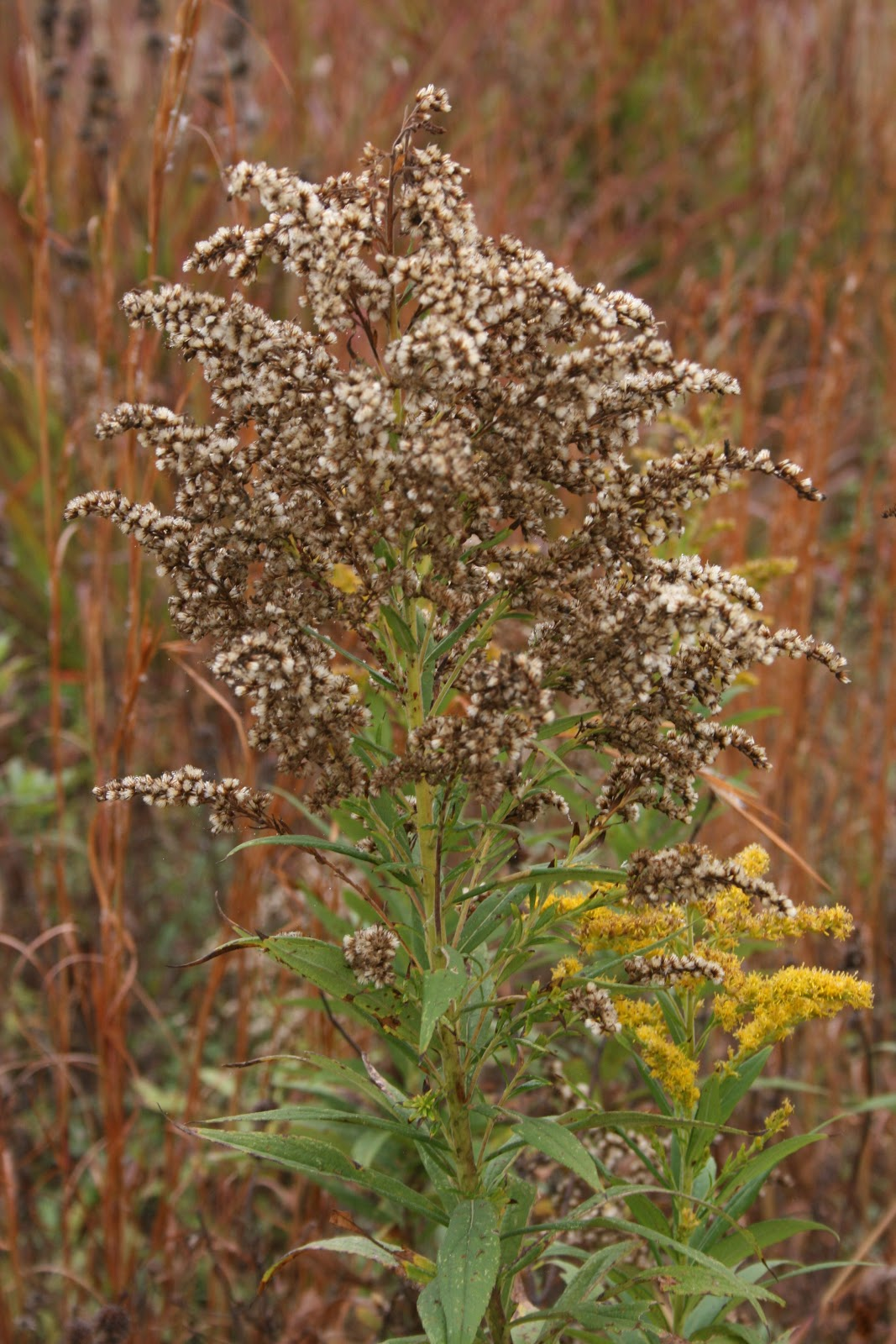 Planting Goldenrod In The Garden: Native Florida Wildflowers: Canada Goldenrod