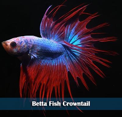 Mengenal Jenis-Jenis Ikan Cupang Terlengkap