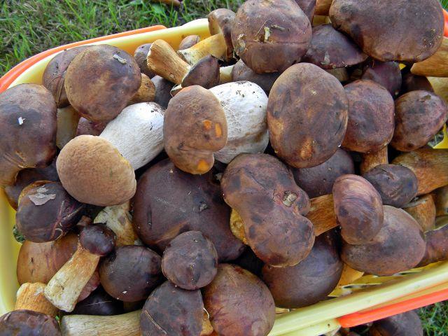 grzybobranie, grzyby, grzyby jadalne