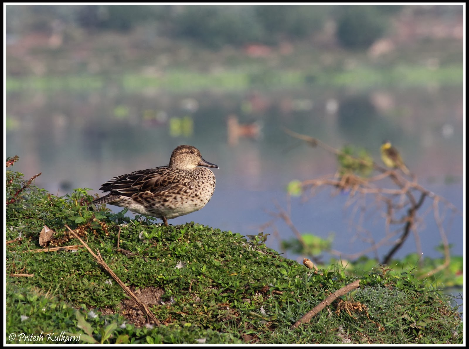 Common Teal Female