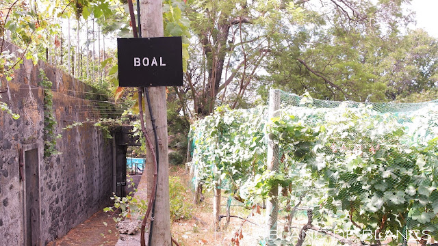 Boal-viljelmiä Funchalissa - www.blancdeblancs.fi