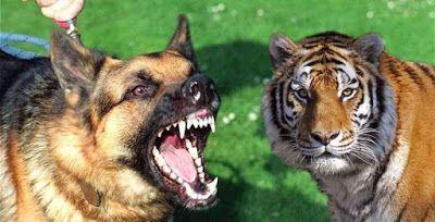 Câu chuyện của bố con nhà hổ và chó điên