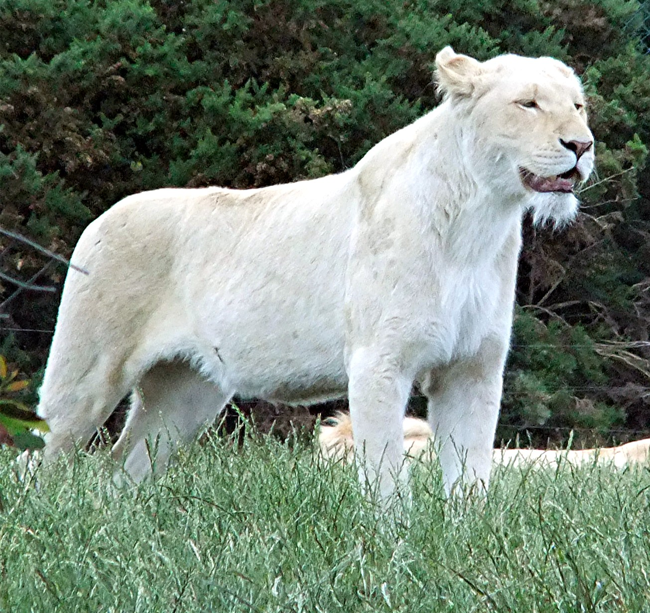 Shukernature White Lions And White Tigers