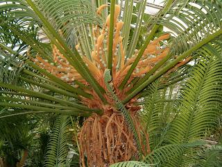 Ciri-ciri dan Klasifikasi Tumbuhan Berbiji Terbuka