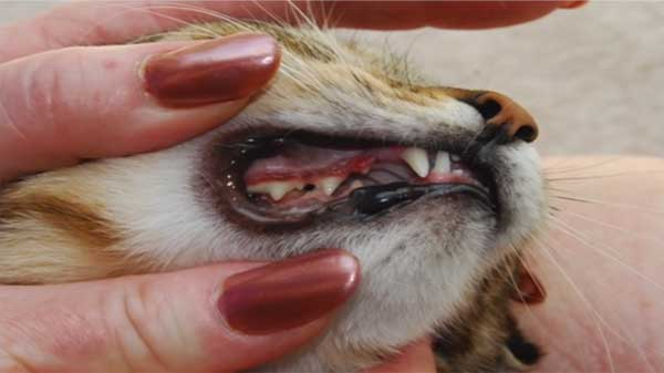Learn about dental disease in cats