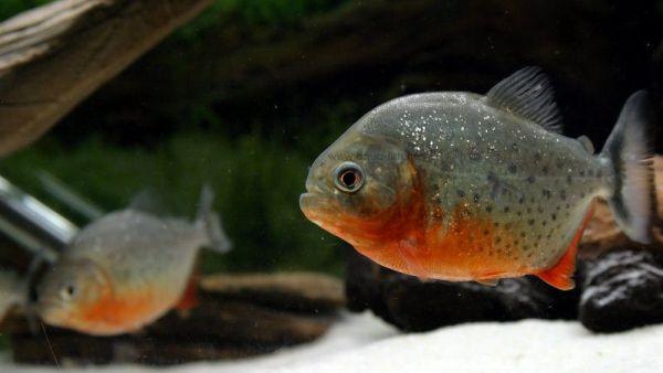 Piranha, ikan ganas penguasa Sungai Amazon