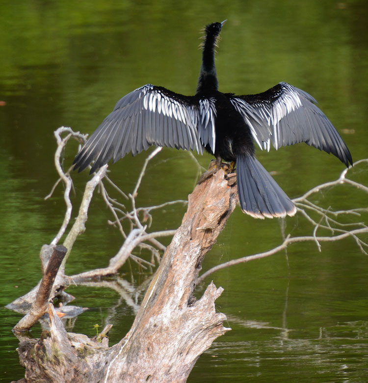 An Anhinga sun bathes while he dries his feathers. He's on a branch in Lake Thomas on HHI.