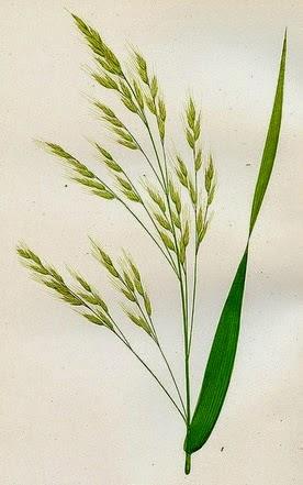 wild oat ilustration
