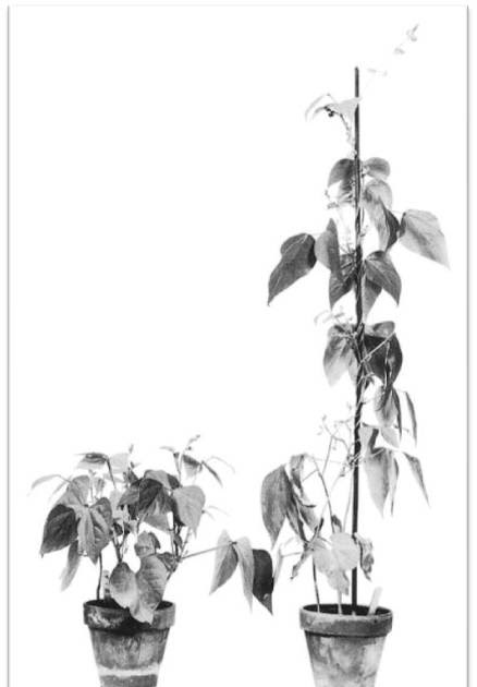 Plant Hormone Gibberellins : Major Functions ~ Biology