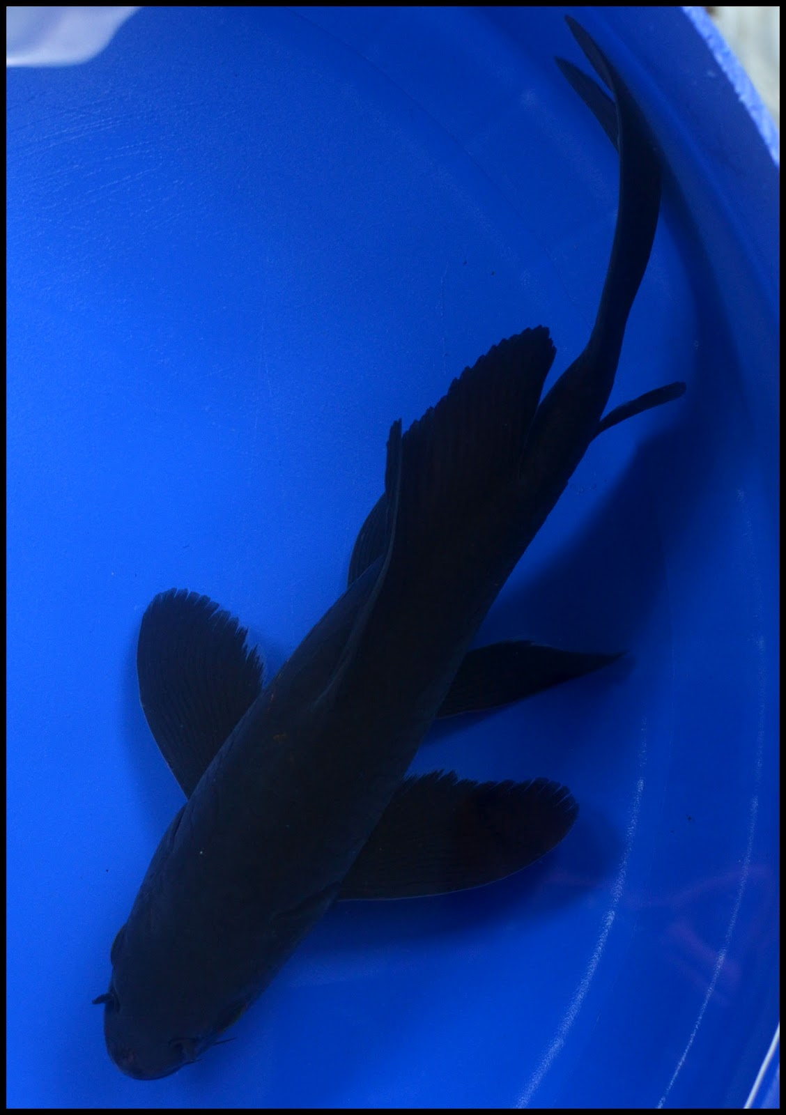 The gallery for --> Black Butterfly Koi Fish