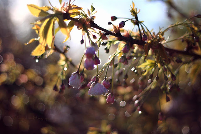 cherry tree blossoms, raindrops and golden sunlight