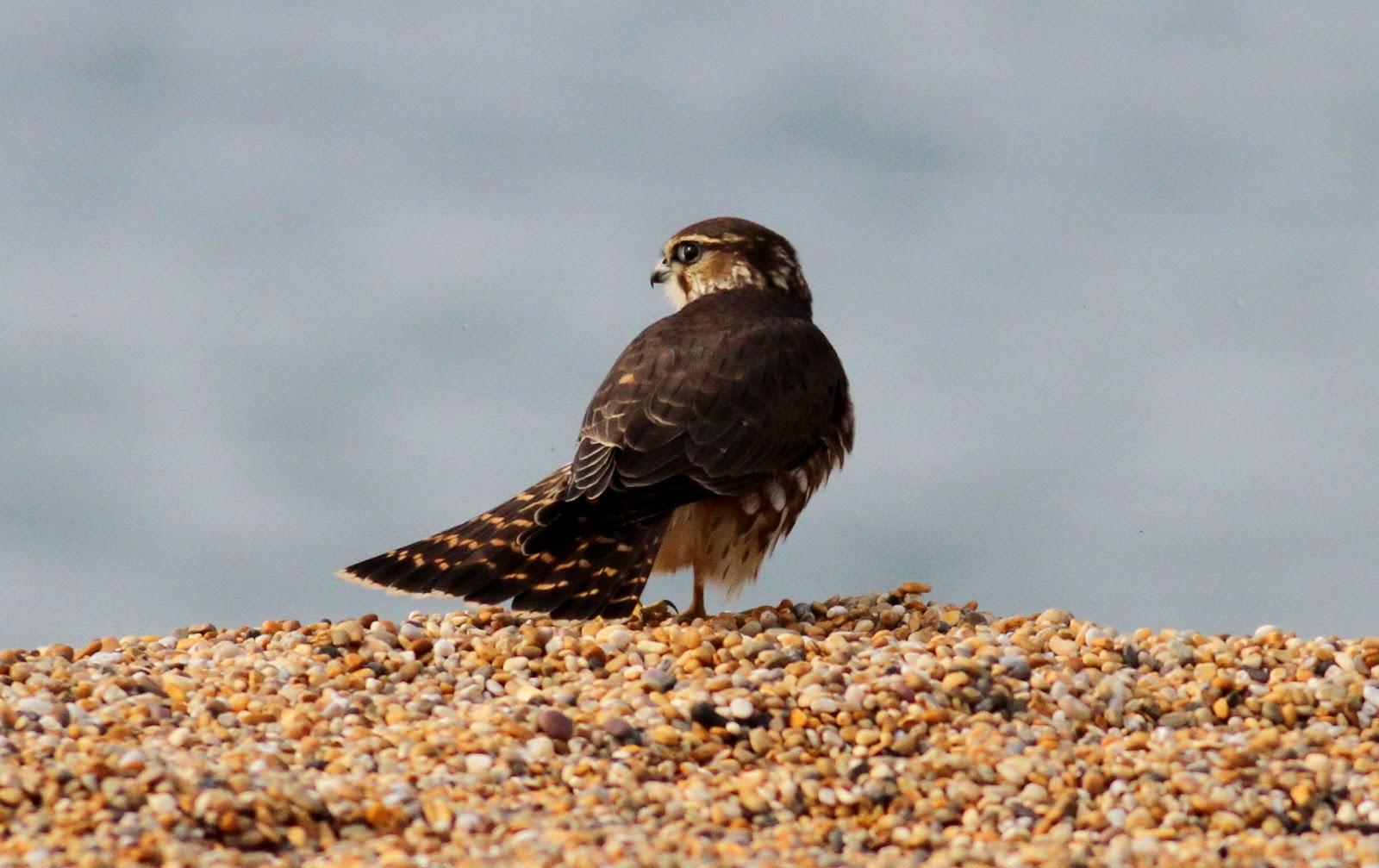 Dorset Birds Sightings Tuesday 23rd September 2014